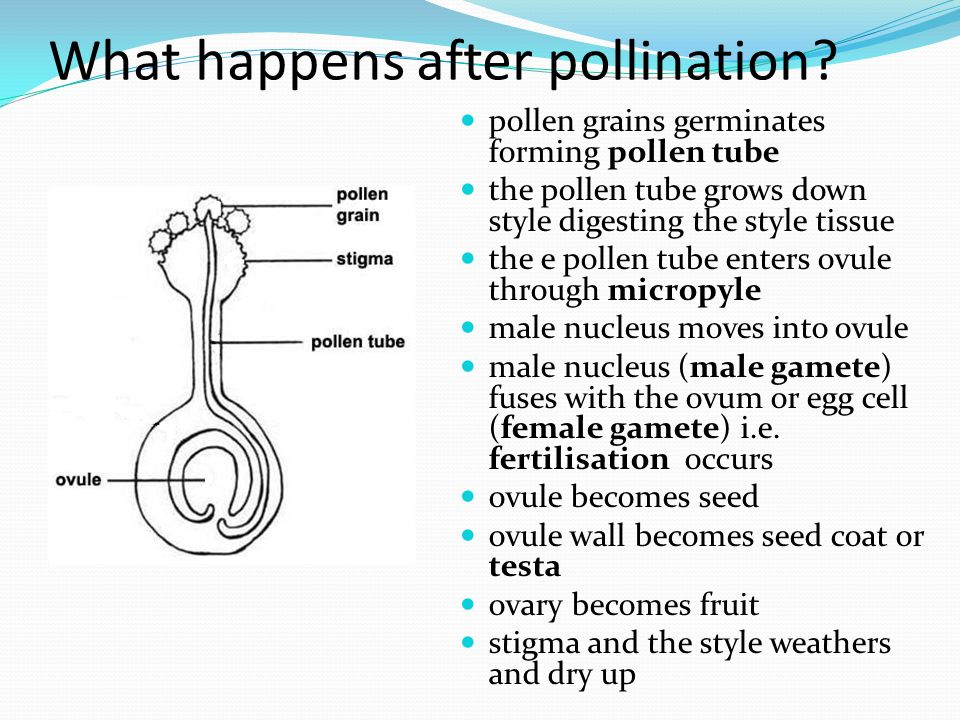 What happens after pollination? pollen grains germinates forming pollen tube the pollen tube grows down style digesting the style tissue the e pollen
