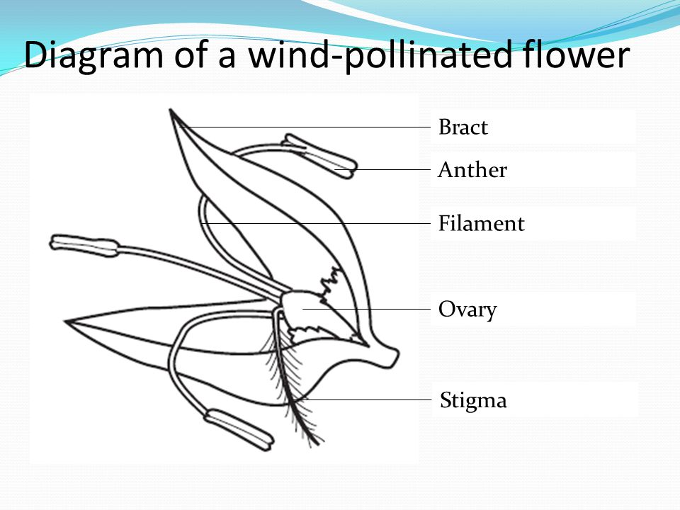 Diagram of a wind-pollinated flower Bract Anther Filament Ovary Stigma