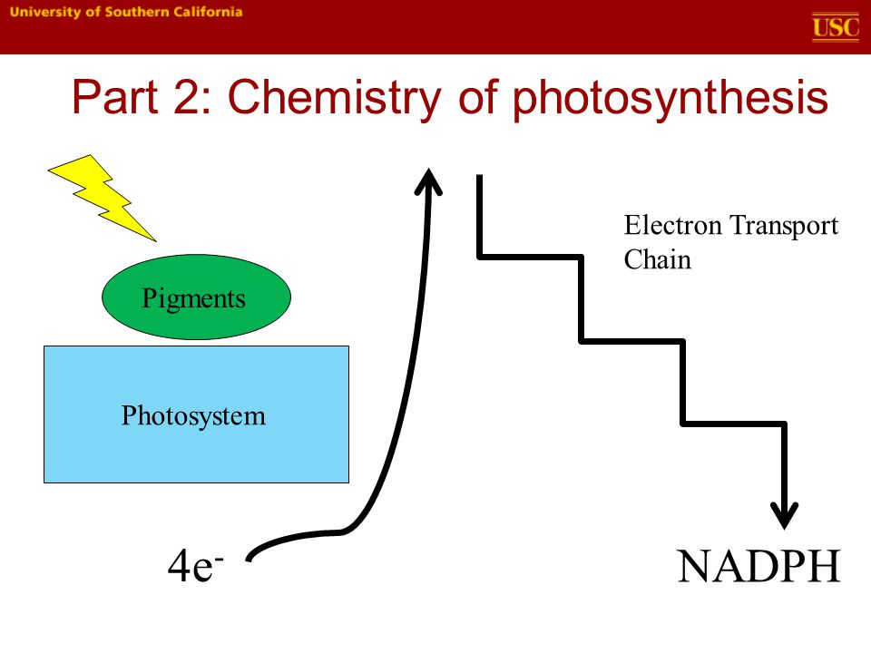 Part 2: Chemistry of photosynthesis Pigments Photosystem 4e - Electron Transport Chain NADPH