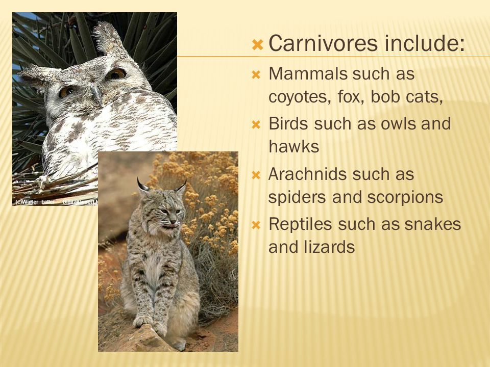  Carnivores include:  Mammals such as coyotes, fox, bob cats,  Birds such as owls and hawks  Arachnids such as spiders and scorpions  Reptiles such as snakes and lizards