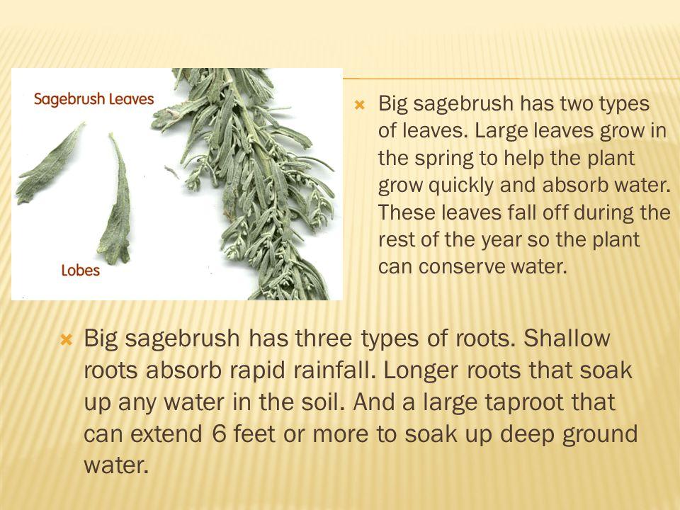  Big sagebrush has three types of roots.Shallow roots absorb rapid rainfall.