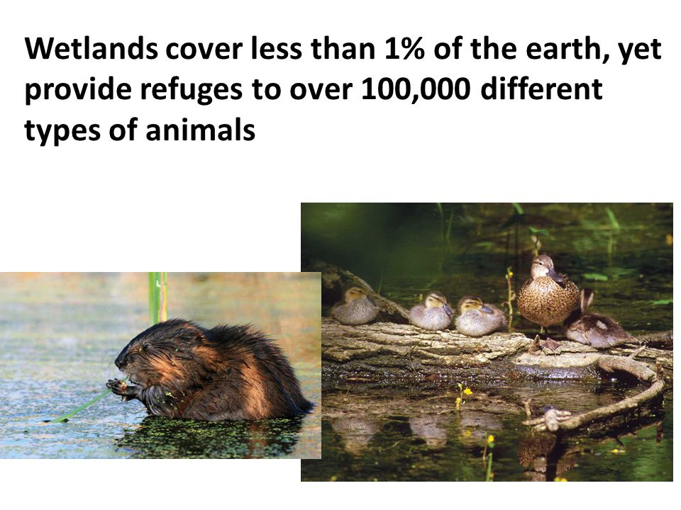 Wetlands cover less than 1% of the earth, yet provide refuges to over 100,000 different types of animals