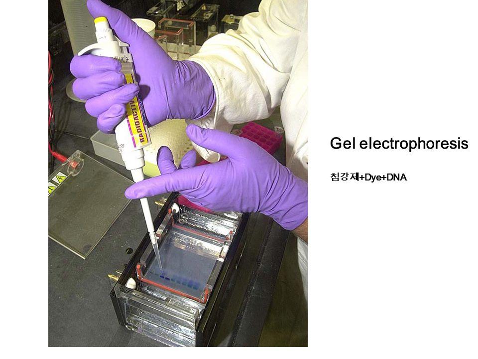 Gel electrophoresis 침강제 +Dye+DNA