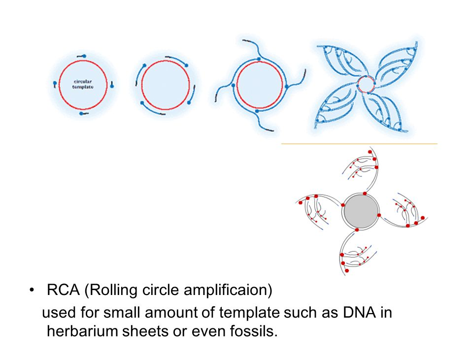 RCA (Rolling circle amplificaion) used for small amount of template such as DNA in herbarium sheets or even fossils.