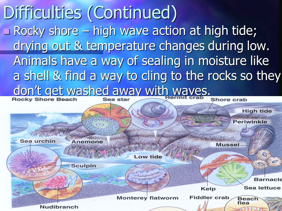 Difficulties (Continued) Rocky shore – high wave action at high tide; drying out & temperature changes during low. Animals have a way of sealing in mo