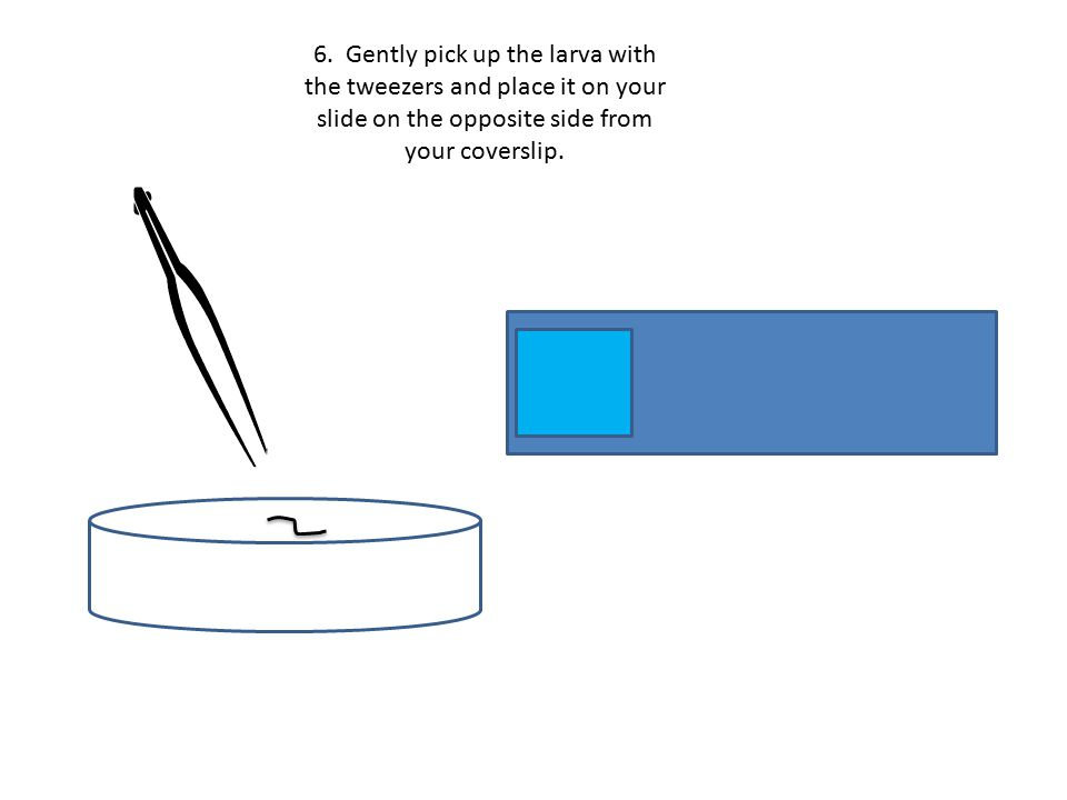 6. Gently pick up the larva with the tweezers and place it on your slide on the opposite side from your coverslip.