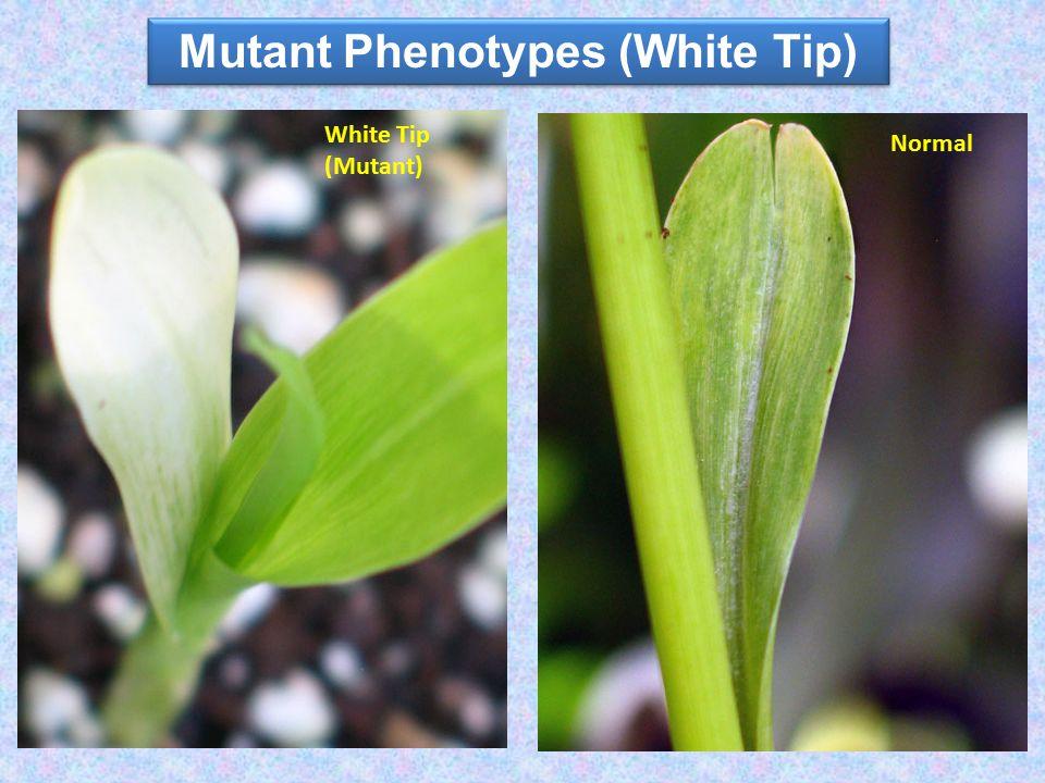 Mutant Phenotypes (White Tip) White Tip (Mutant) Normal