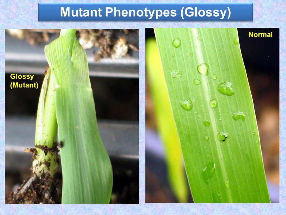 Mutant Phenotypes (Glossy) Glossy (Mutant) Normal