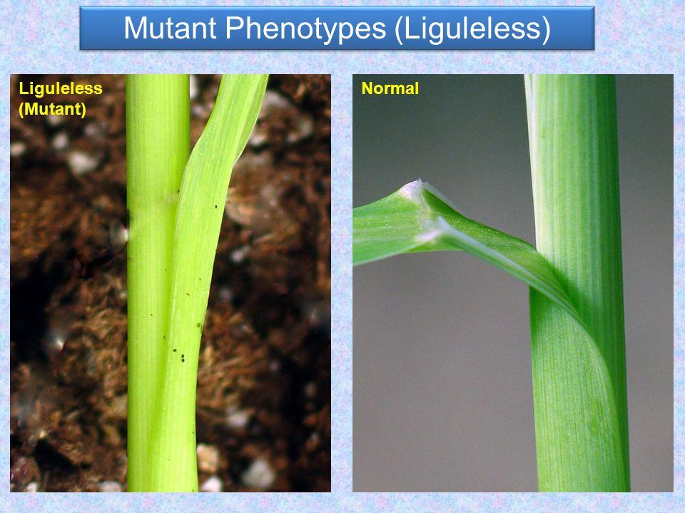 Mutant Phenotypes (Liguleless) NormalLiguleless (Mutant)