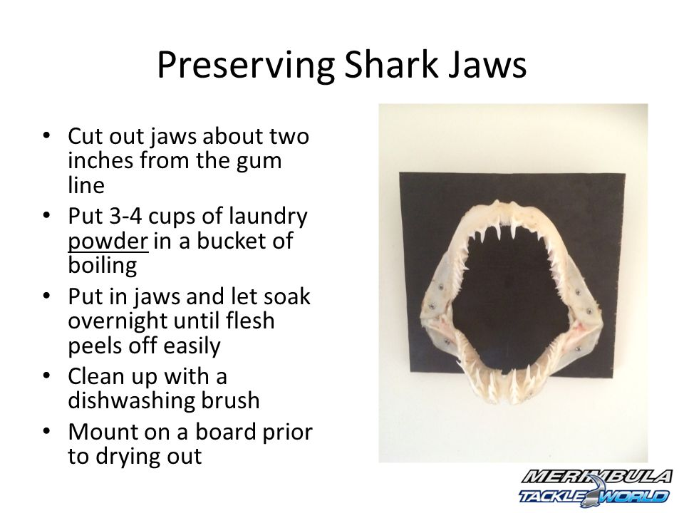 Preserving Shark Jaws Cut out jaws about two inches from the gum line Put 3-4 cups of laundry powder in a bucket of boiling Put in jaws and let soak overnight until flesh peels off easily Clean up with a dishwashing brush Mount on a board prior to drying out