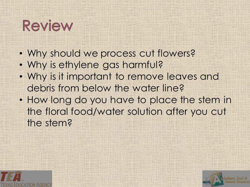 Why should we process cut flowers.Why is ethylene gas harmful.