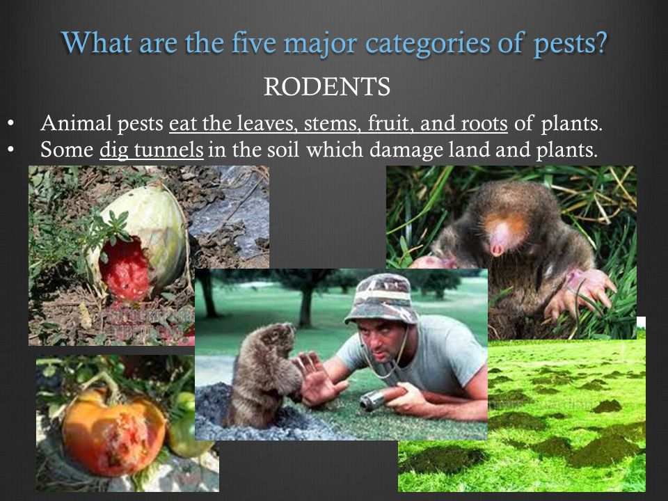 What are the five major categories of pests.
