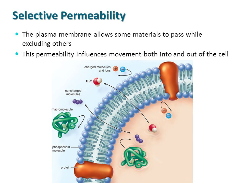Selective Permeability The plasma membrane allows some materials to pass while excluding others This permeability influences movement both into and ou