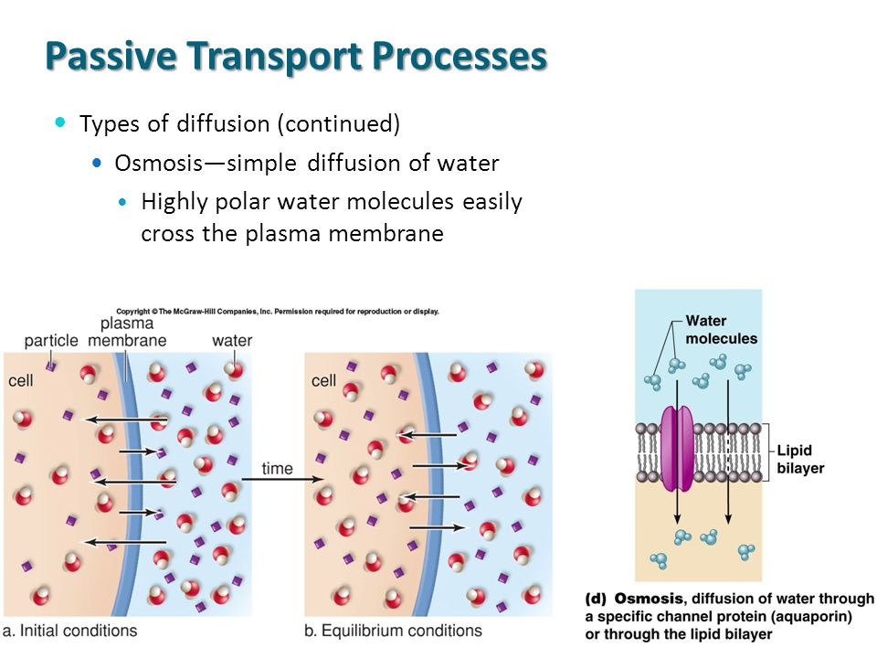 Passive Transport Processes Types of diffusion (continued) Osmosis—simple diffusion of water Highly polar water molecules easily cross the plasma memb