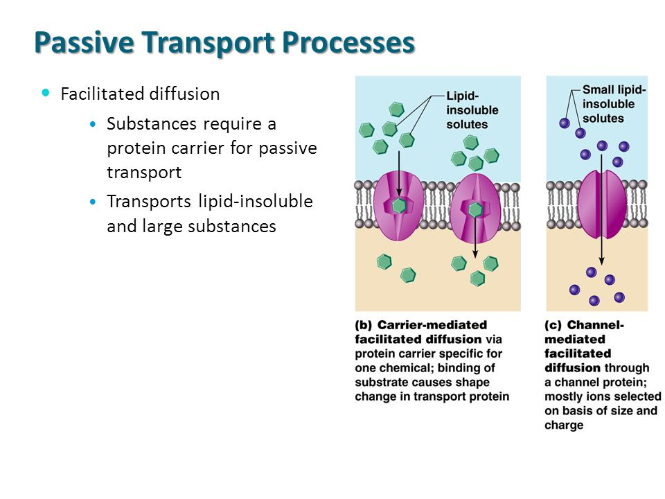 Passive Transport Processes Facilitated diffusion Substances require a protein carrier for passive transport Transports lipid-insoluble and large subs