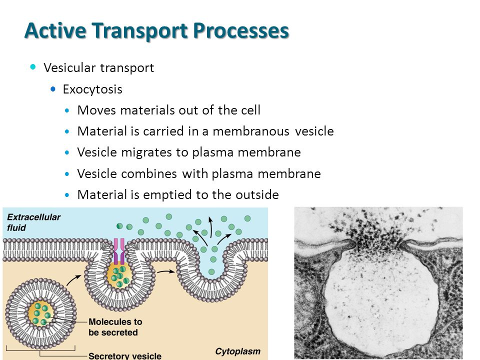 Active Transport Processes Vesicular transport Exocytosis Moves materials out of the cell Material is carried in a membranous vesicle Vesicle migrates