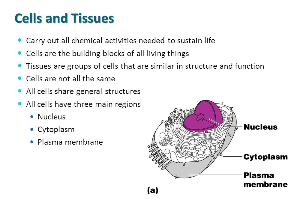 Cells and Tissues Carry out all chemical activities needed to sustain life Cells are the building blocks of all living things Tissues are groups of ce