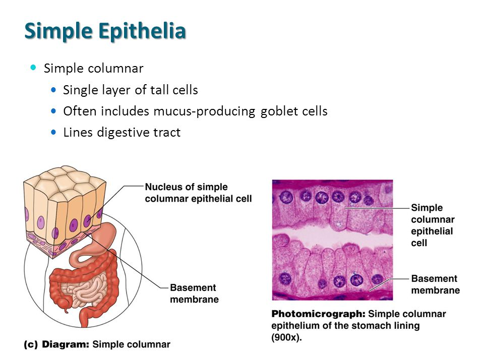Simple Epithelia Simple columnar Single layer of tall cells Often includes mucus-producing goblet cells Lines digestive tract