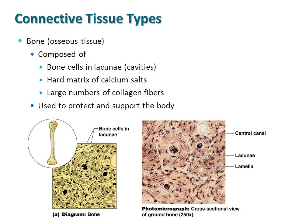 Connective Tissue Types Bone (osseous tissue) Composed of Bone cells in lacunae (cavities) Hard matrix of calcium salts Large numbers of collagen fibe
