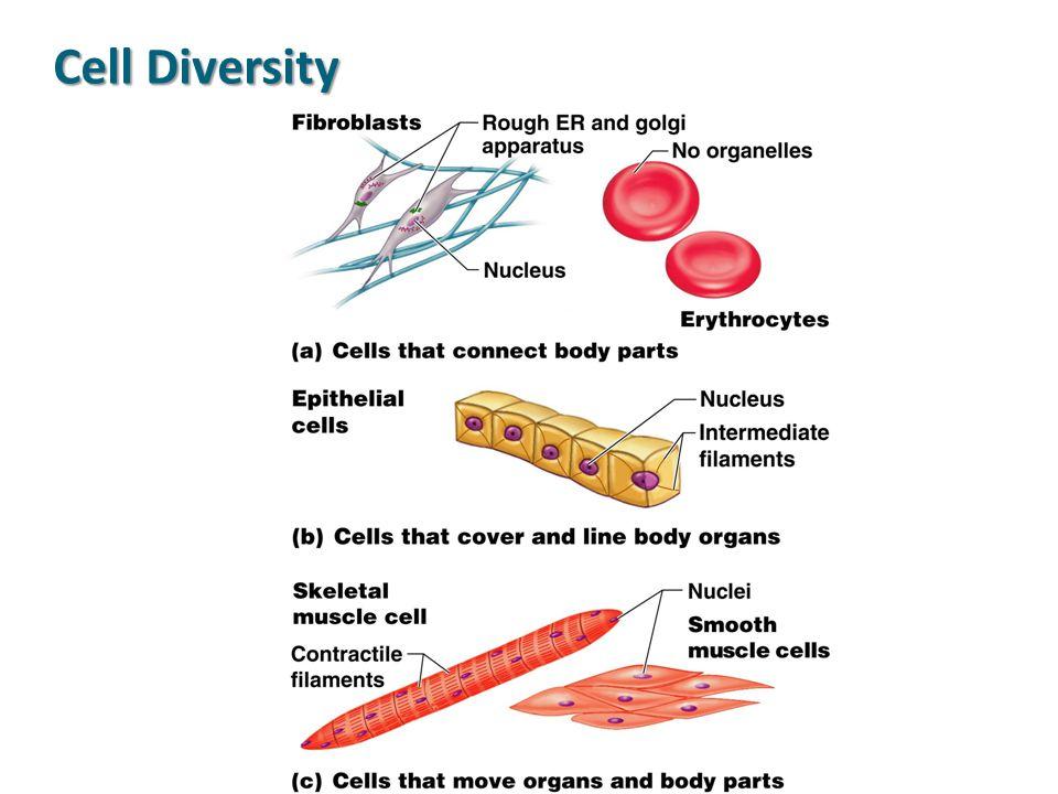 Cell Diversity