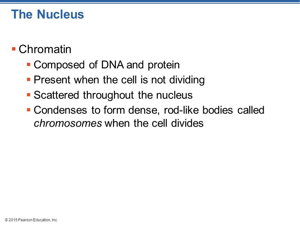 The Nucleus  Chromatin  Composed of DNA and protein  Present when the cell is not dividing  Scattered throughout the nucleus  Condenses to form d