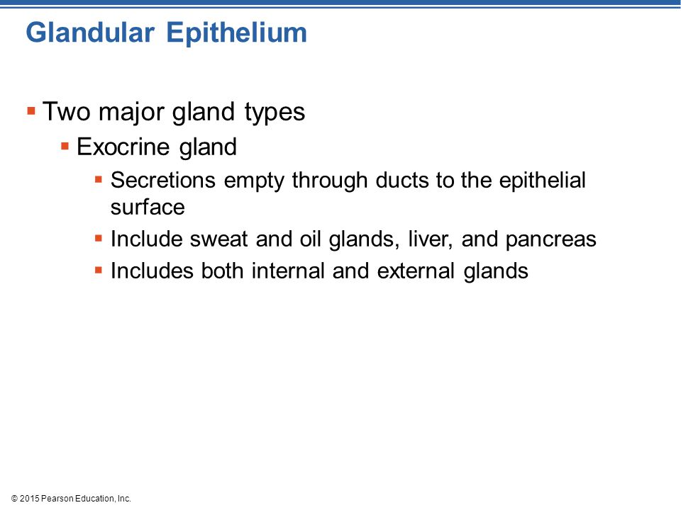 © 2015 Pearson Education, Inc. Glandular Epithelium  Two major gland types  Exocrine gland  Secretions empty through ducts to the epithelial surfac