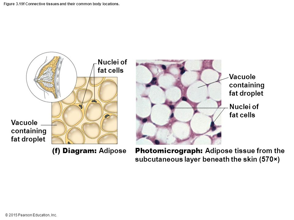 © 2015 Pearson Education, Inc. Figure 3.19f Connective tissues and their common body locations. Nuclei of fat cells Vacuole containing fat droplet Nuc