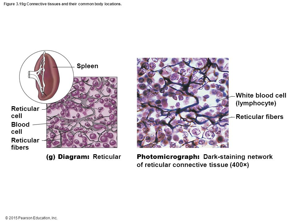 © 2015 Pearson Education, Inc.Figure 3.19g Connective tissues and their common body locations.