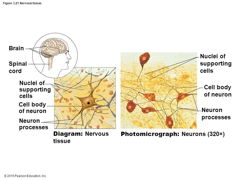 © 2015 Pearson Education, Inc.Figure 3.21 Nervous tissue.