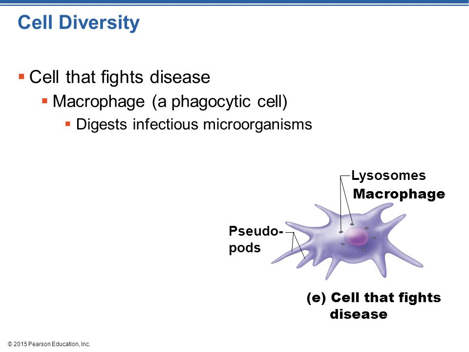 © 2015 Pearson Education, Inc. Cell Diversity  Cell that fights disease  Macrophage (a phagocytic cell)  Digests infectious microorganisms Lysosome