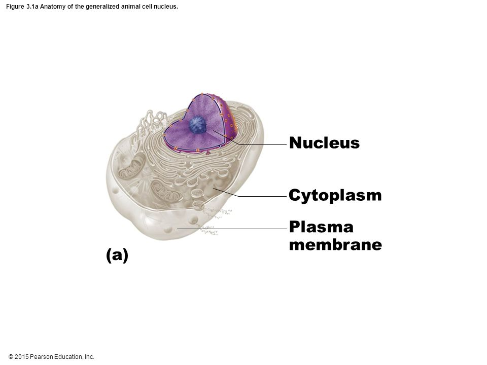 Figure 3.1a Anatomy of the generalized animal cell nucleus. Nucleus Cytoplasm Plasma membrane (a)