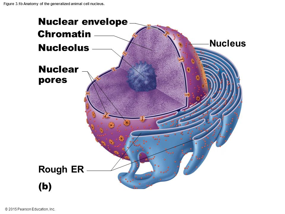 Figure 3.1b Anatomy of the generalized animal cell nucleus. Nucleus Rough ER Nuclear envelope Chromatin Nucleolus Nuclear pores (b)