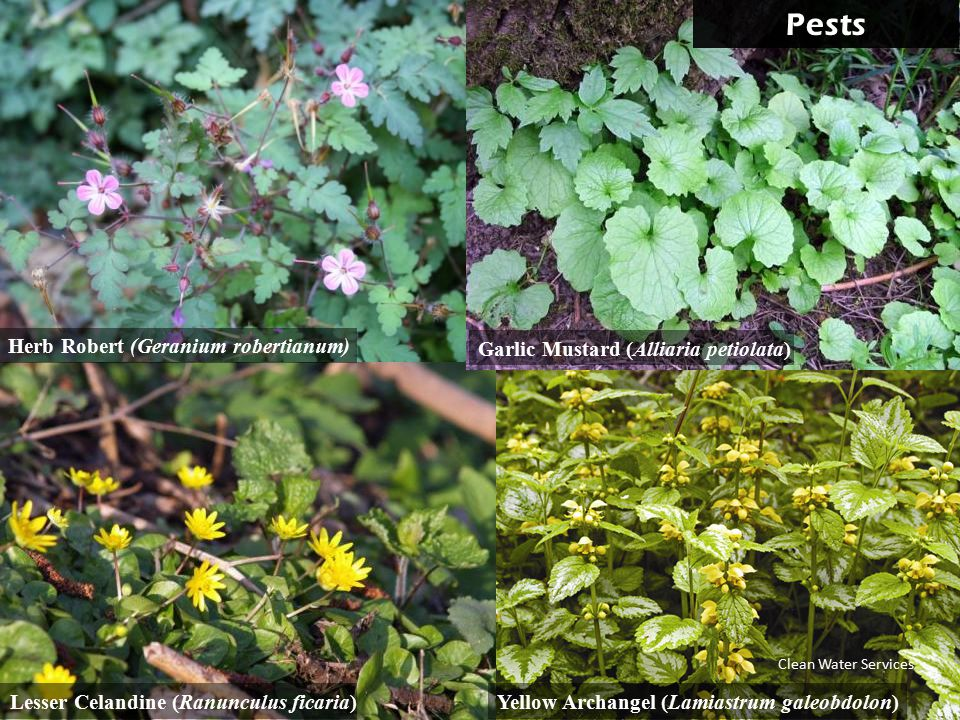 Pests Yellow Archangel (Lamiastrum galeobdolon)Lesser Celandine (Ranunculus ficaria) Garlic Mustard (Alliaria petiolata) Herb Robert (Geranium robertianum) Clean Water Services