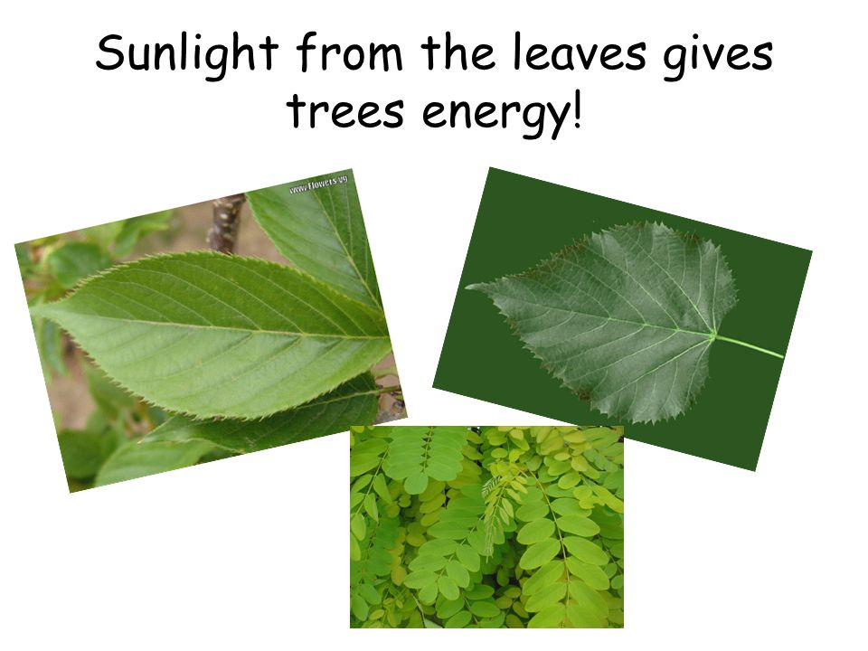 Sunlight from the leaves gives trees energy!