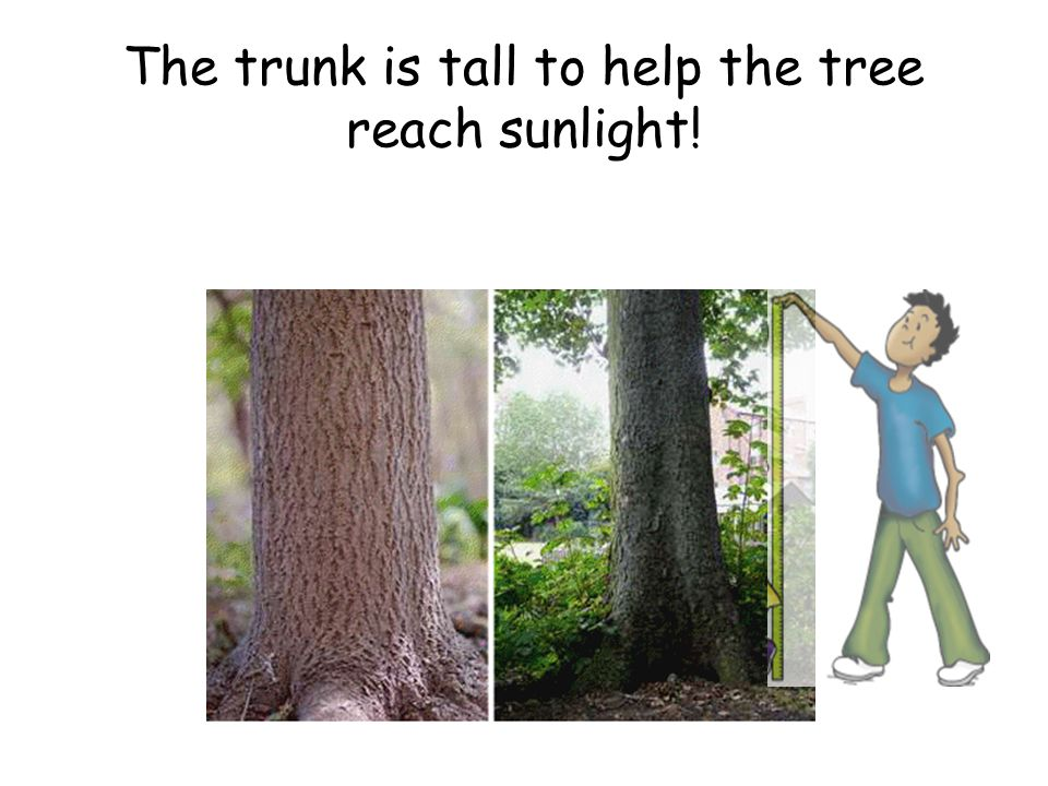 The trunk is tall to help the tree reach sunlight!