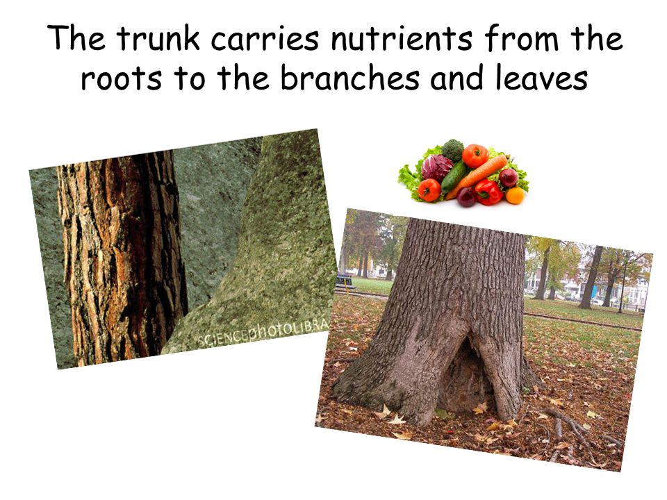 The trunk carries nutrients from the roots to the branches and leaves