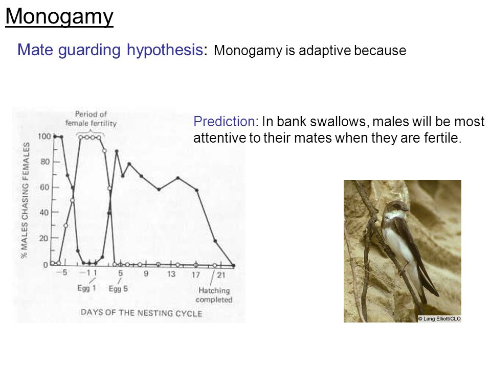 Monogamy Mate guarding hypothesis: Monogamy is adaptive because Prediction: In bank swallows, males will be most attentive to their mates when they ar