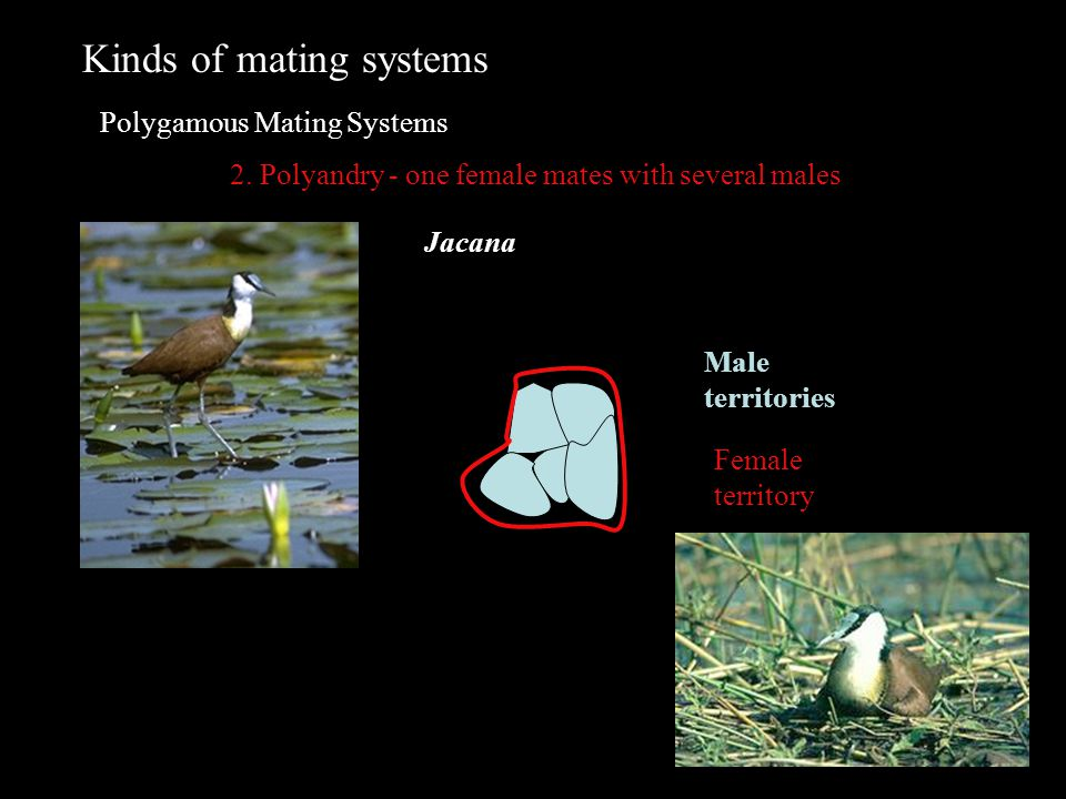 Kinds of mating systems Polygamous Mating Systems 2. Polyandry - one female mates with several males Male territories Female territory Jacana