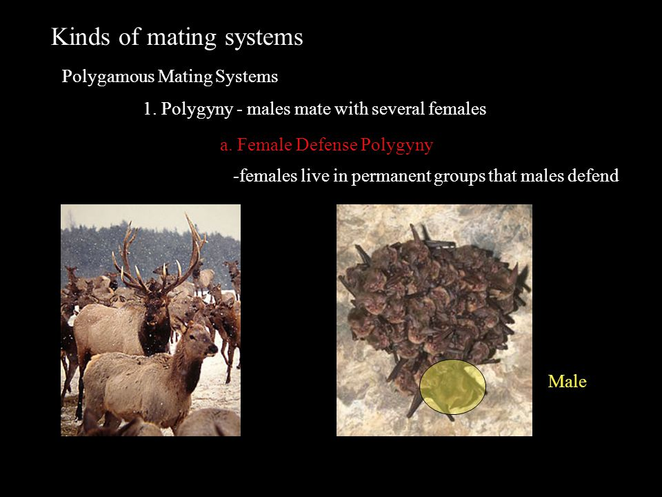 Kinds of mating systems Polygamous Mating Systems 1. Polygyny - males mate with several females a. Female Defense Polygyny -females live in permanent