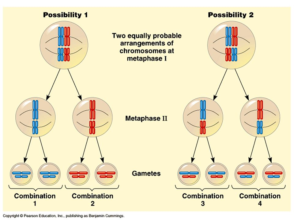 Another Way Meiosis Makes Lots of Different Sex Cells – Crossing-Over Crossing-over multiplies the already huge number of different gamete types produced by independent assortment.