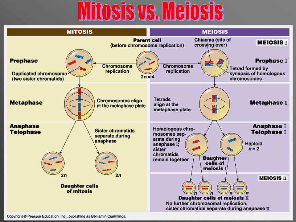 The Key Difference Between Mitosis and Meiosis is the Way Chromosomes Uniquely Pair and Align in Meiosis Mitosis The first (and distinguishing) division of meiosis
