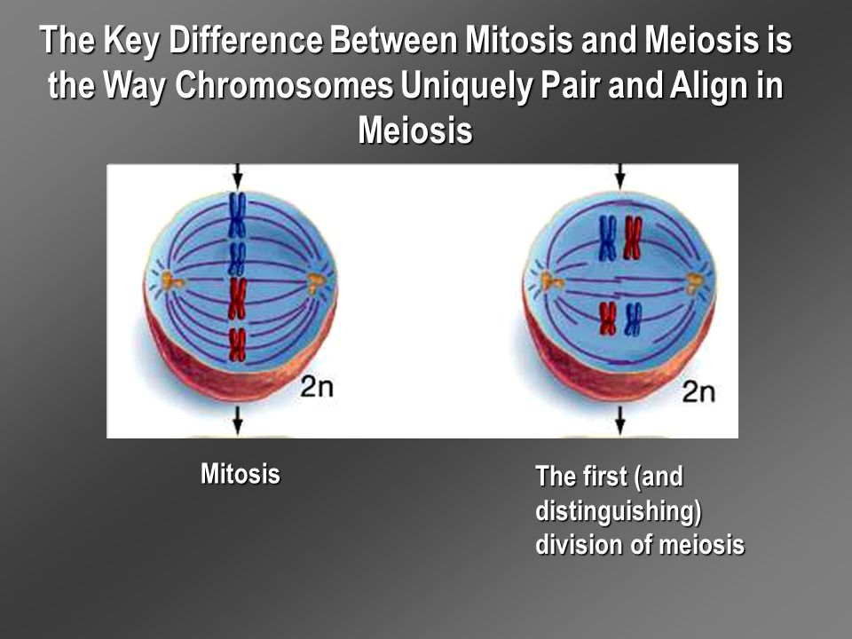 The Key Difference Between Mitosis and Meiosis is the Way Chromosomes Uniquely Pair and Align in Meiosis Mitosis The first (and distinguishing) divisi