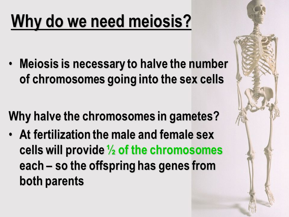 Why do we need meiosis? Meiosis is necessary to halve the number of chromosomes going into the sex cells Meiosis is necessary to halve the number of c