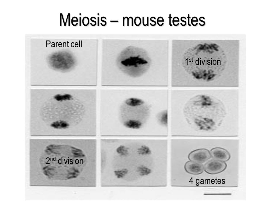 Meiosis – mouse testes Parent cell 4 gametes 1 st division 2 nd division