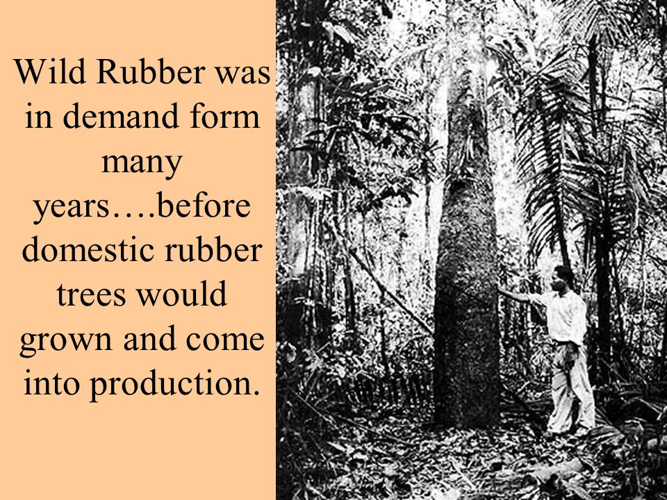 Wild Rubber was in demand form many years….before domestic rubber trees would grown and come into production.