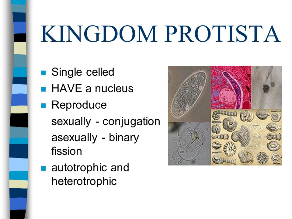 KINGDOM PROTISTA n Single celled n HAVE a nucleus n Reproduce sexually - conjugation asexually - binary fission n autotrophic and heterotrophic