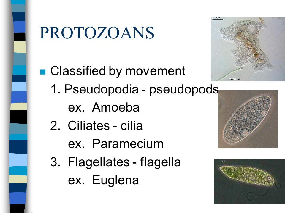 PROTOZOANS n Classified by movement 1.Pseudopodia - pseudopods ex.