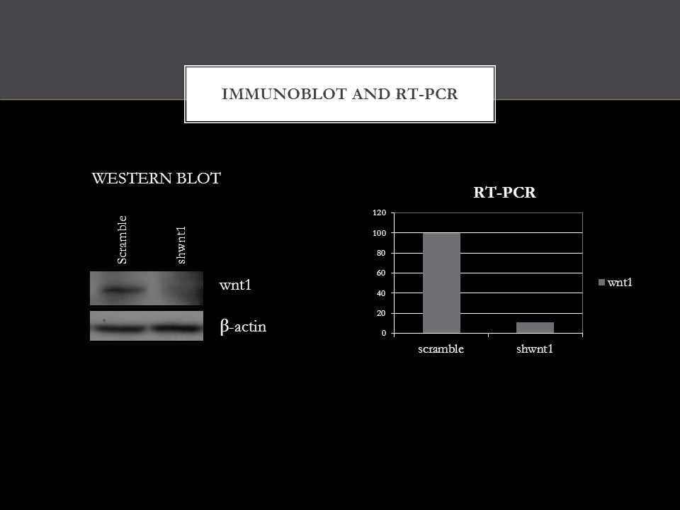 IMMUNOBLOT AND RT-PCR WESTERN BLOT Scrambleshwnt1 wnt1 β -actin