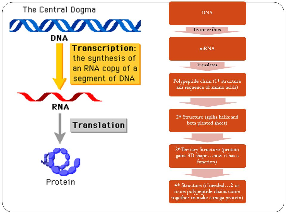 DNA Transcribes mRNA Translates Polypeptide chain (1* structure aka sequence of amino acids) 2* Structure (aplha helix and beta pleated sheet) 3* Tertiary Structure (protein gains 3D shape…now it has a function) 4* Structure (if needed…2 or more polypeptide chains come together to make a mega protein)