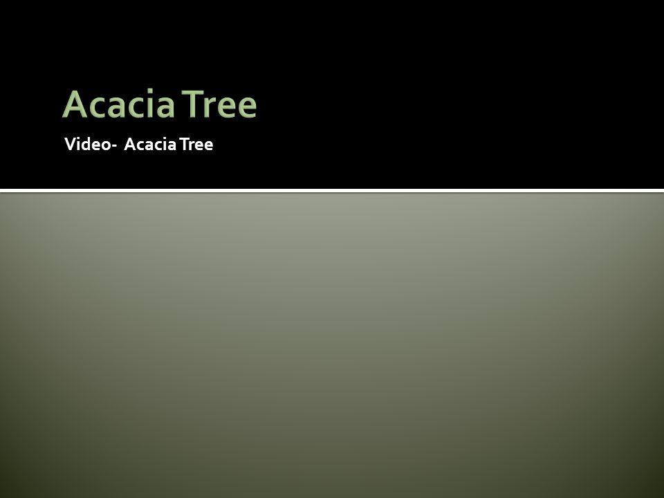 Video- Acacia Tree